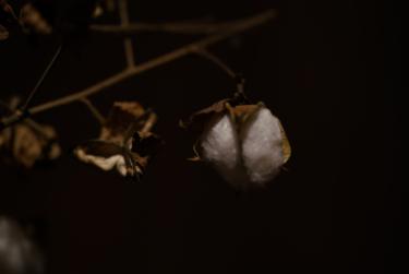 2018年棉の栽培の終わりは綿木引き